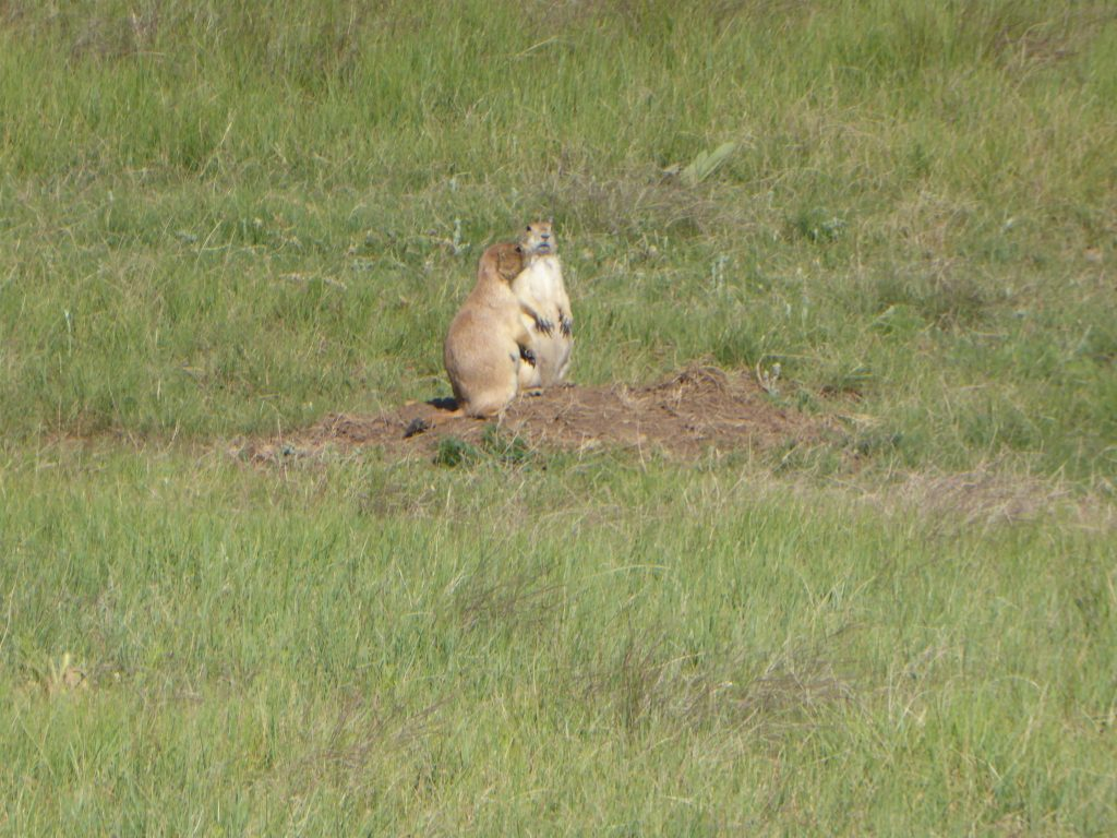 Prairie dogs, bison, coyotes, and deer were seen at Wind Cave National Park