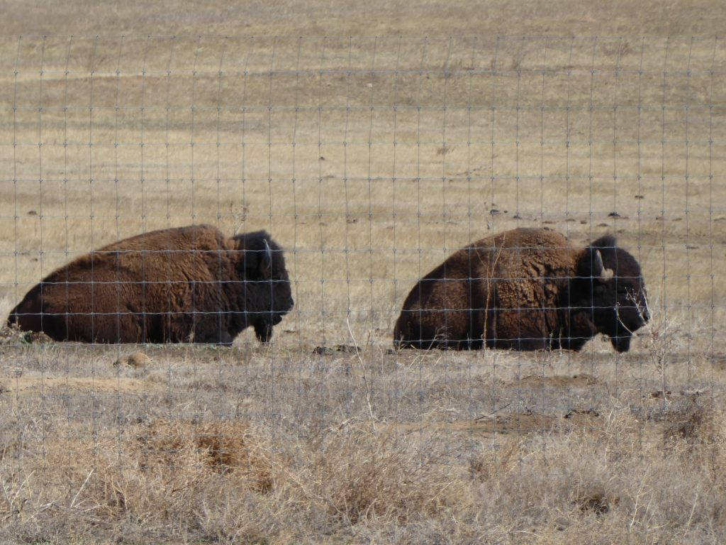 Wildlife preserve for bison