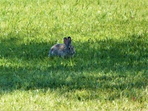 Fort Laramie Rabbit