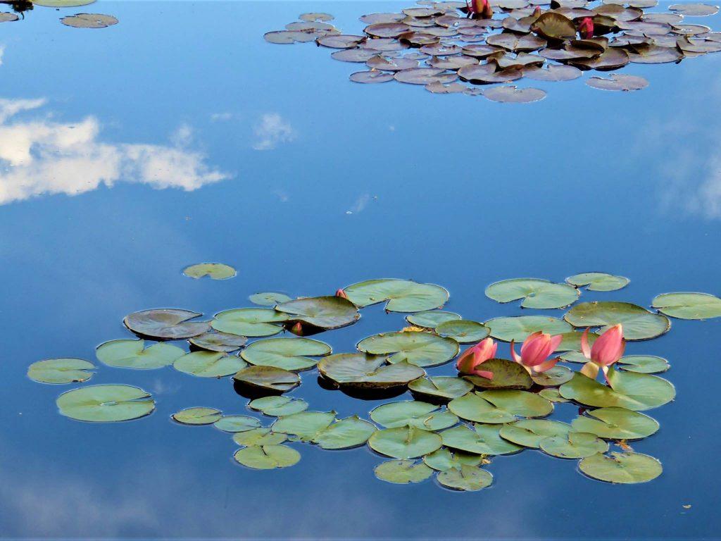 Denver Botanic Garden Water Lily