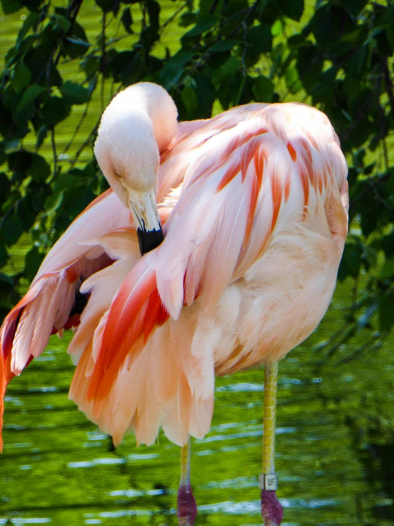 Rolling Hills Zoo Flamingo