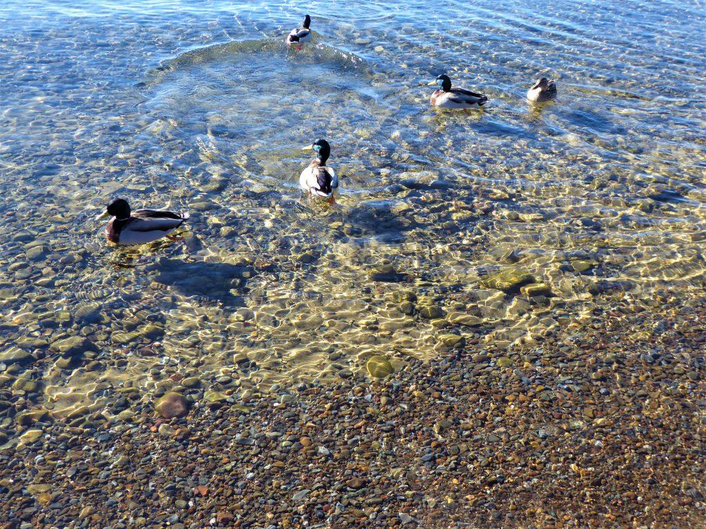 Kings Beach Lake Tahoe Ducks