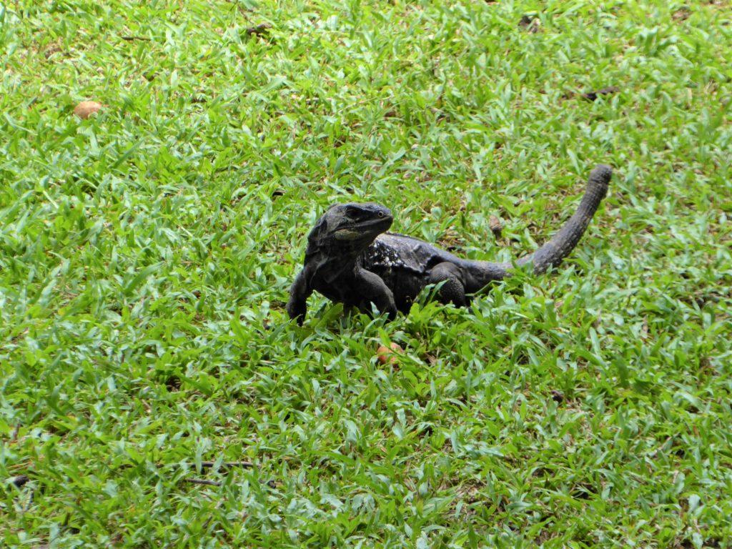 Gumbalimba Park Roatan Island Iguana