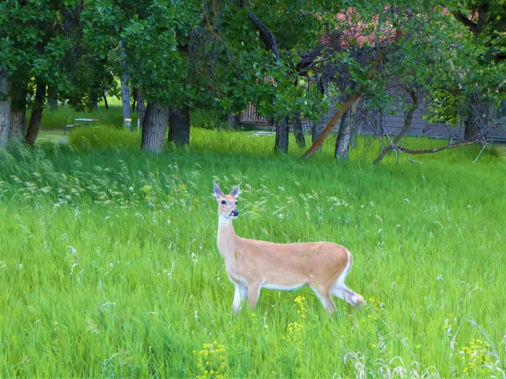 Devils Tower Deer
