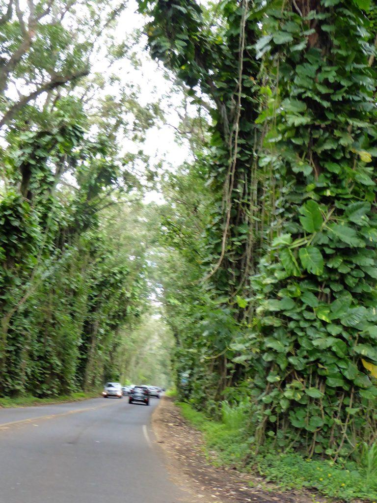 Kauai's Tree Tunnel