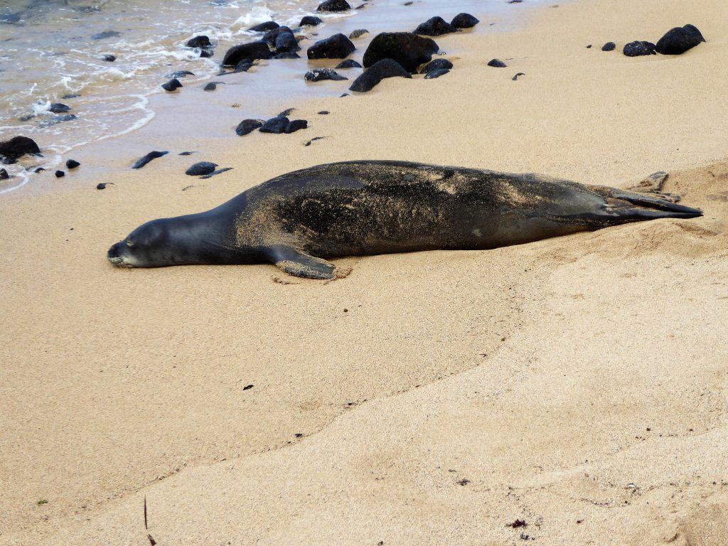 Monk Seal Lawai Beach