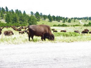 National Parks of South Dakota Bison Herd at Custer State Park