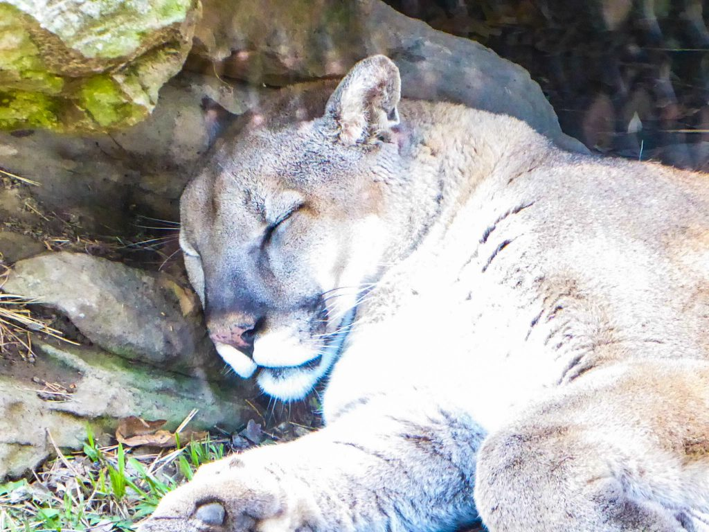 Rolling Hills Zoo Cougar
