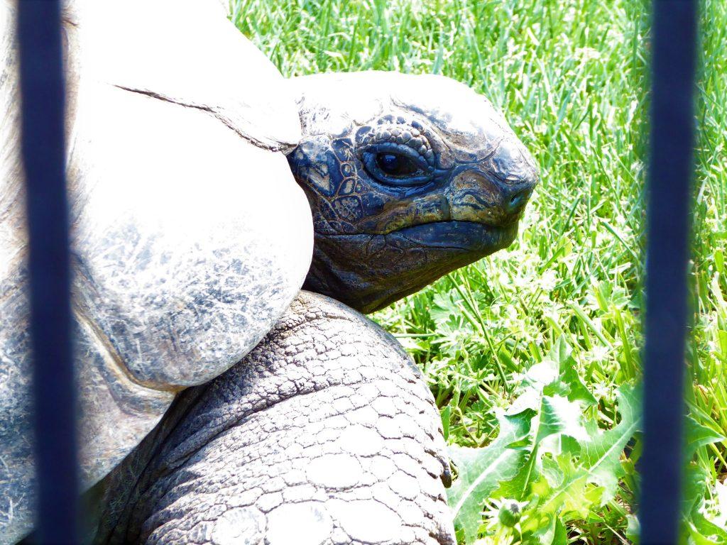 Rolling Hills Zoo Tortoise