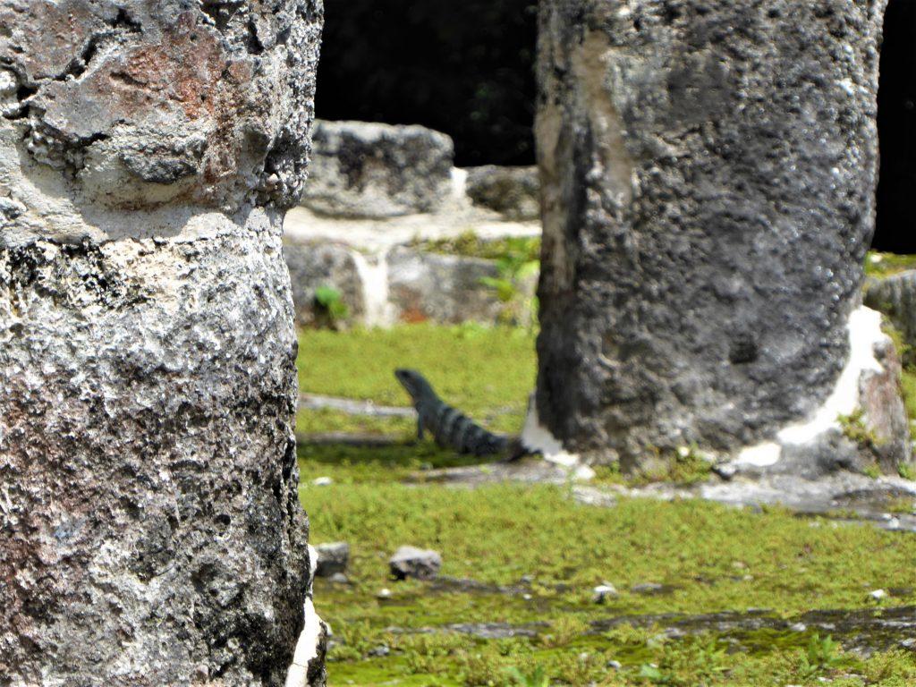 Mayan Ruins of San Gervasio Iguana