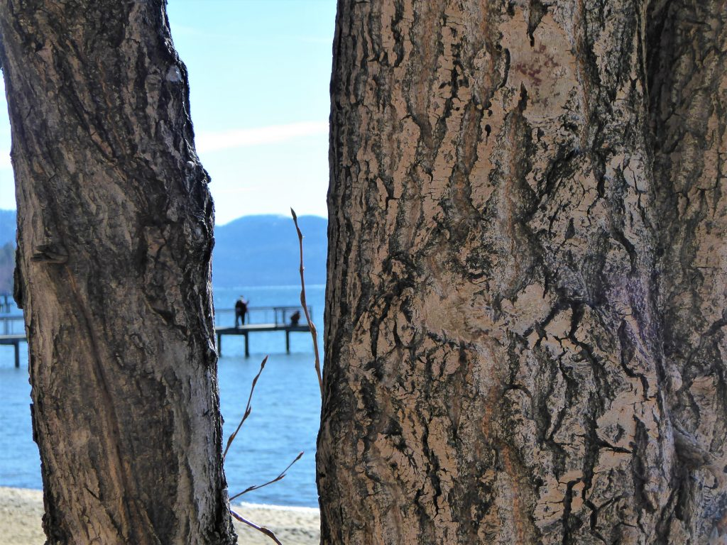 Kings Beach Lake Tahoe Tree