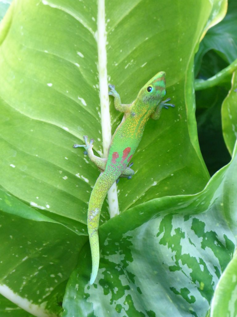 Gecko Waimea Botanical Garden